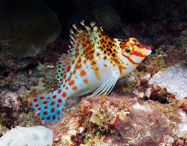 Falks Korallenwächter
