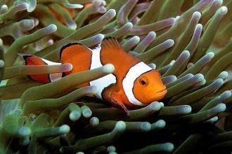 Falscher Clownfisch - Amphiprion Ocellaris