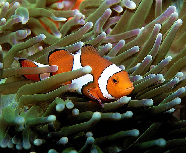 Falscher Clownfisch - Amphiprion Ocellaris