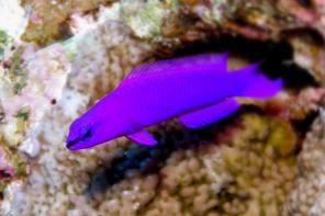 Konig Salomon Zwergbarsch - Pseudochromis Fridmani