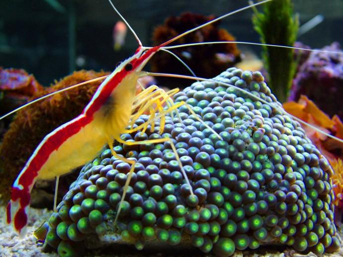 Weissband putzergarnele lysmata amboinensis meerwasser for Salzwasser aquarium fische