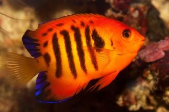 Flame_angelfish_(Centropyge_loricula)