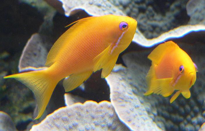Juwelen fahnenbarsch pseudanthias squamipinnis for Salzwasser aquarium fische