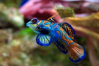 Mandarinfisch - Synchiropus splendidus
