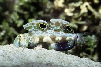 Twin Spot Goby Fish