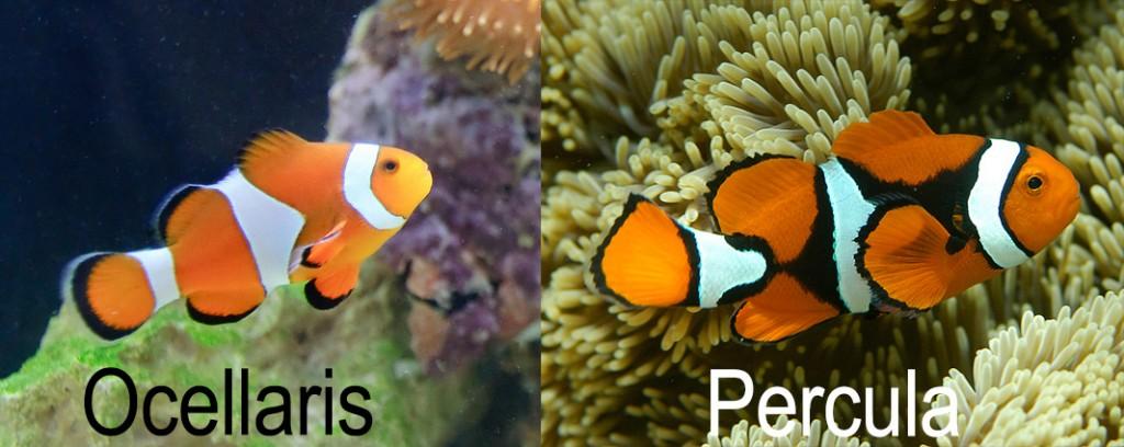 Unterschied echter Clownfisch falscher Clownfisch