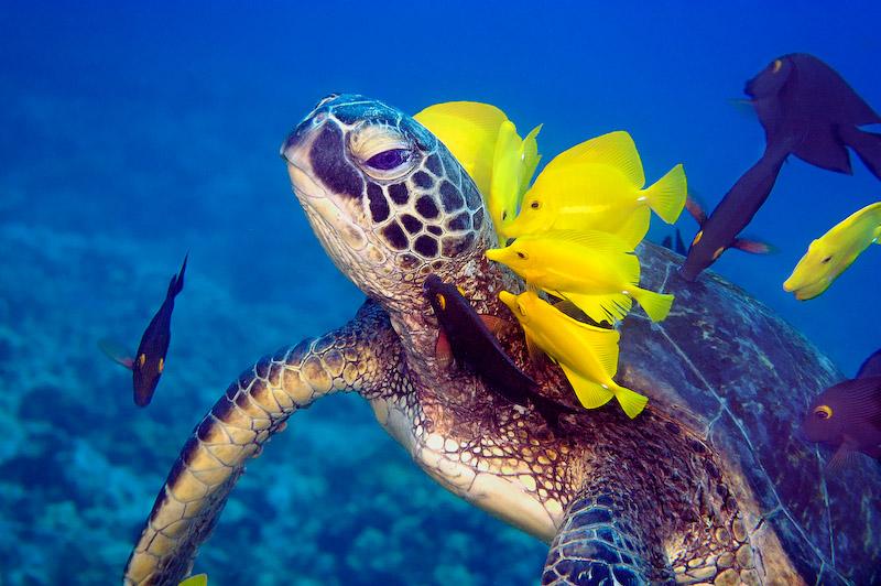 Hawaii Doktor putzt Schildkröte