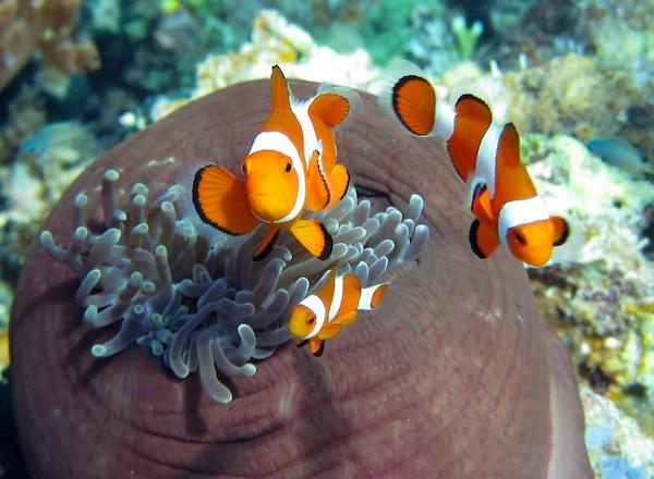 Clownfisch Familie
