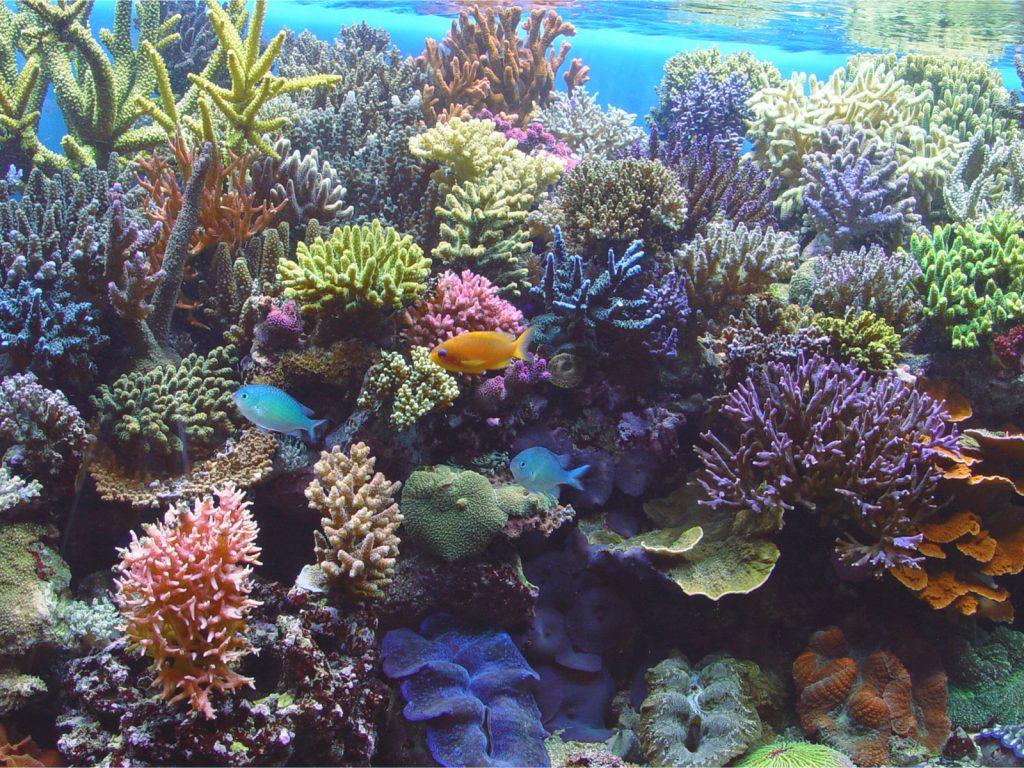 sps aquarium riff