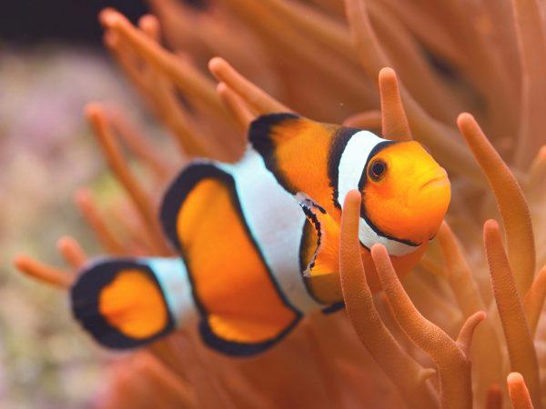Amphiprion Percula - Echter Clownfisch