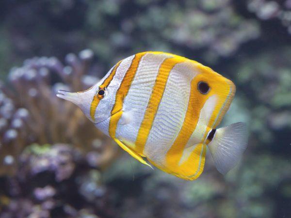 Chelmon Rostratus Pinzettenfisch