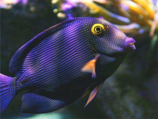 Kohle-Doktorfisch Ctenochaetus strigosus