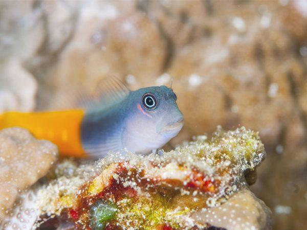 Schleimfisch ecsenius bicolor