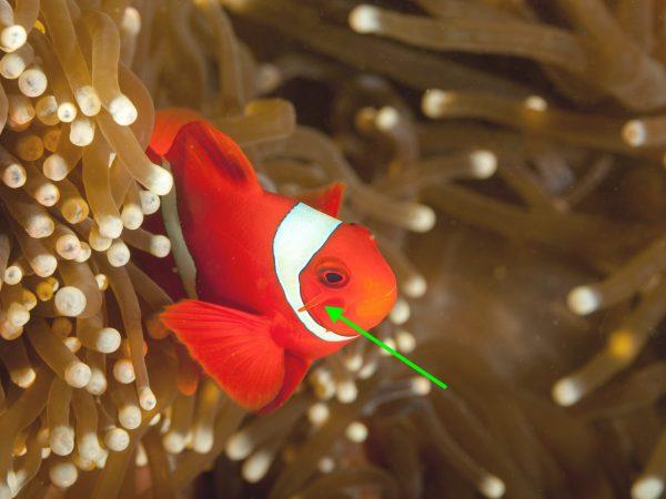 Samtanemonenfisch Aussehen