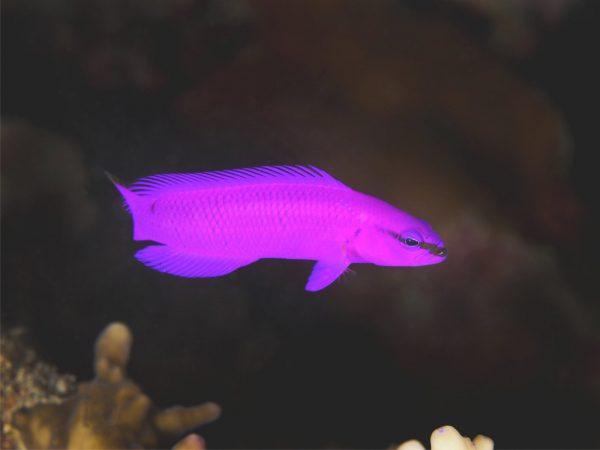 pseudochromis fridmani erkennen