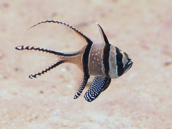 pterapogon kauderni aussehen