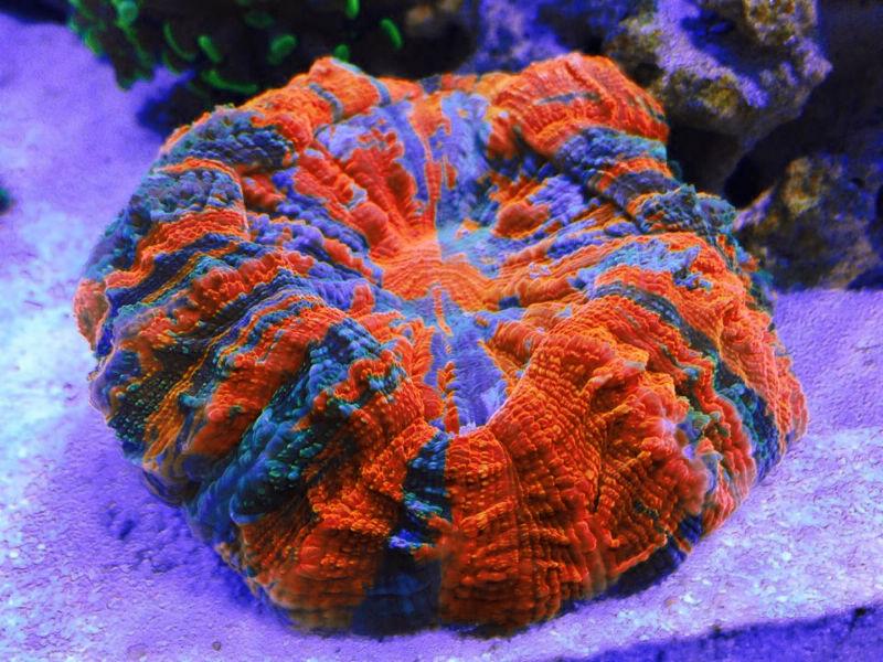 Acanthophyllia LPS Koralle