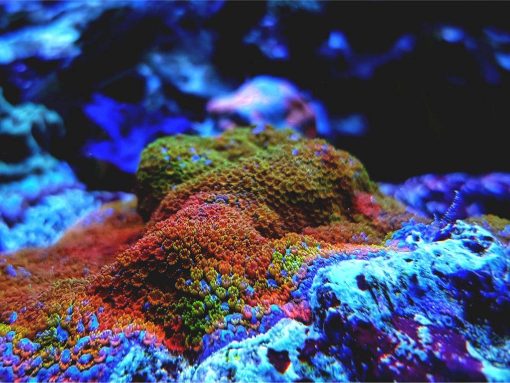 Montipora Danae Rainbow Koralle