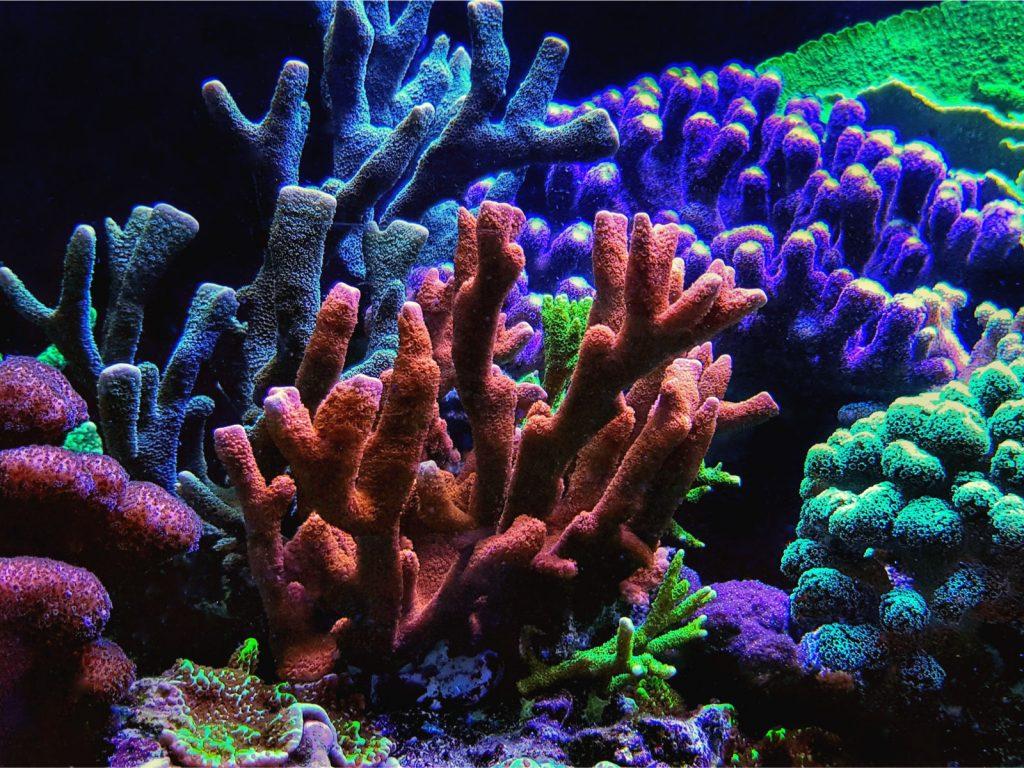 Montipora digitata SPS Koralle
