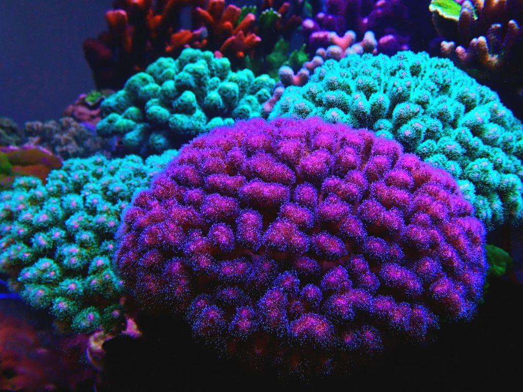 Pocilloporiae SPS Korallen