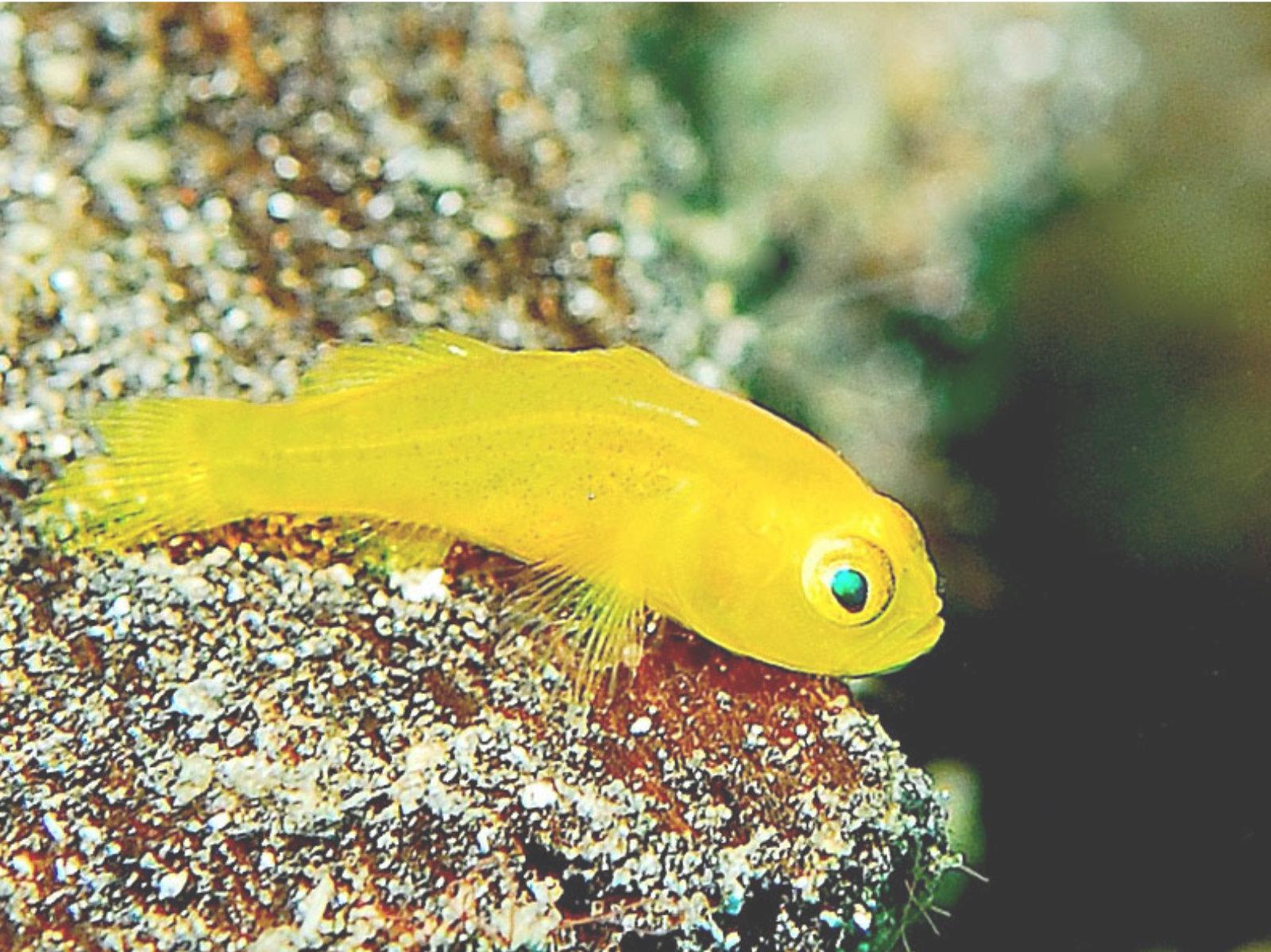 Gelbe Korallengrundel - Gobidon Okinawae