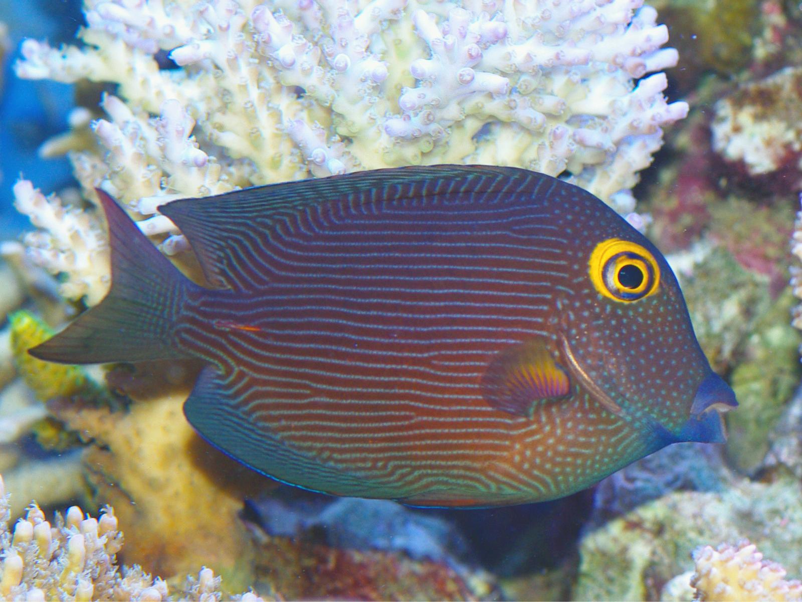 Kohledoktorfisch Aussene