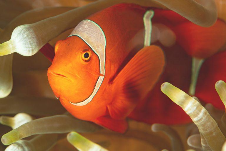 Doktorfisch Gefährlich