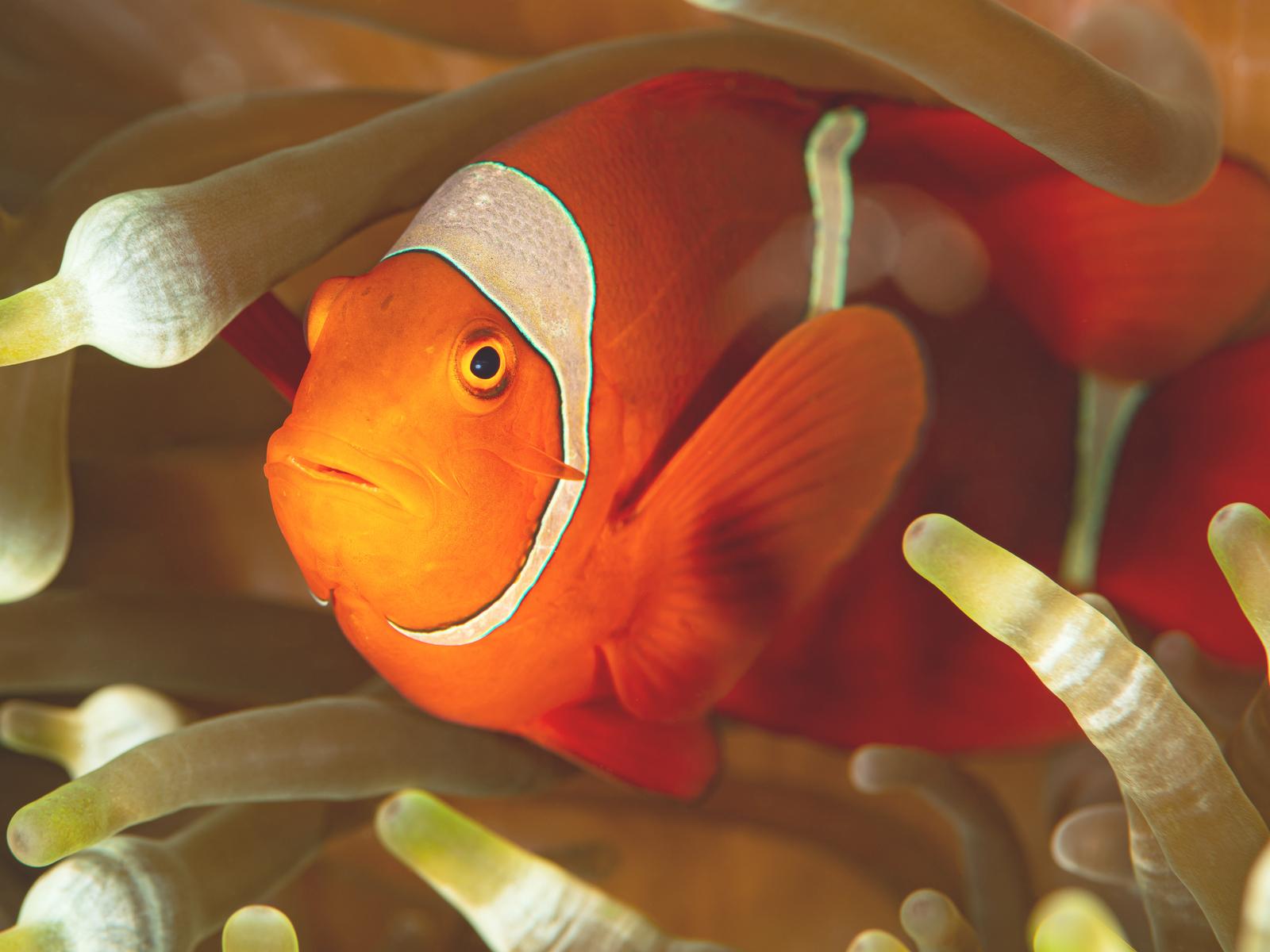 Samtanemonenfisch