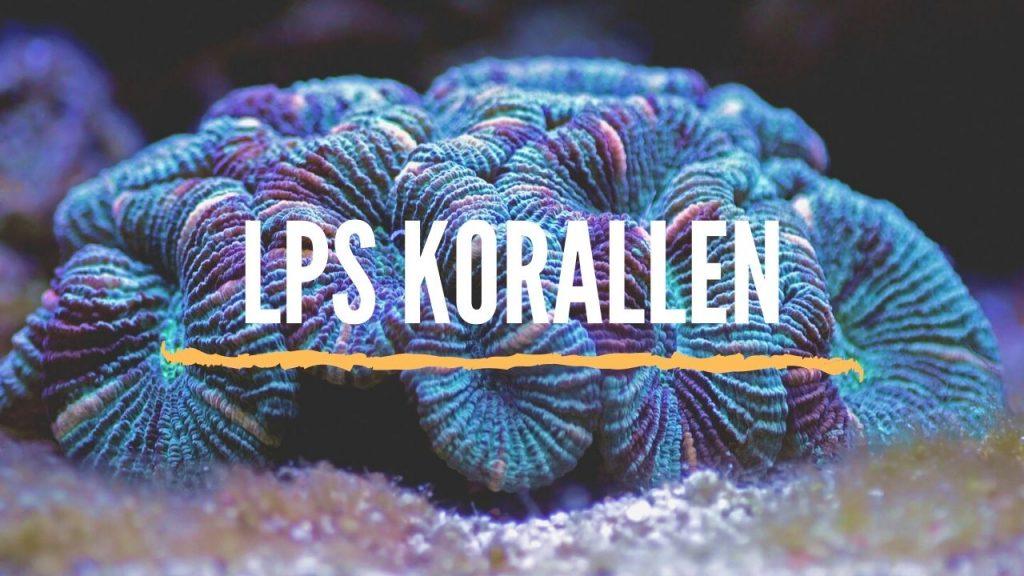 LPS Korallen Anfänger