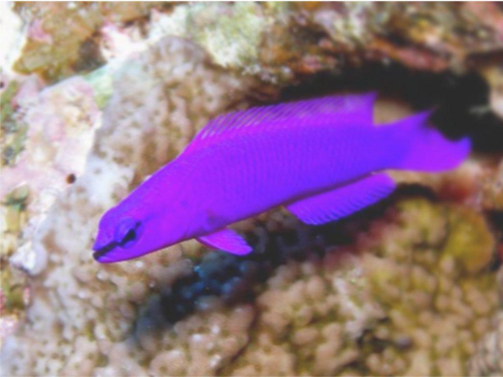 Salomon Zwergbarsch - pseudochromis fridmani