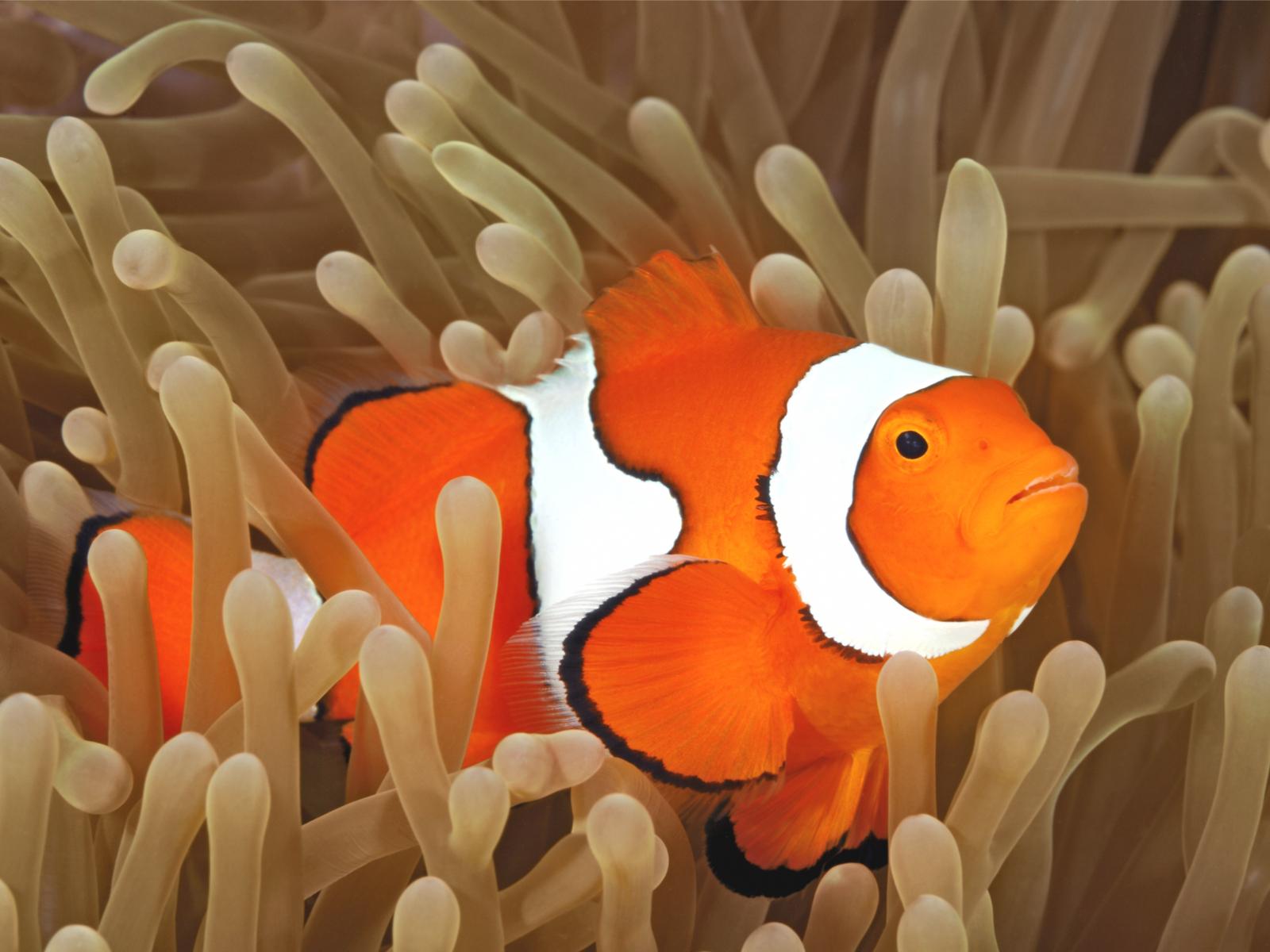 Amphiprion Ocellaris Clownfisch Nemo