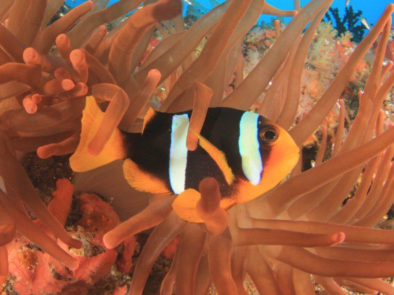 Amphiprion clarkii Clarks Anemonenfisch