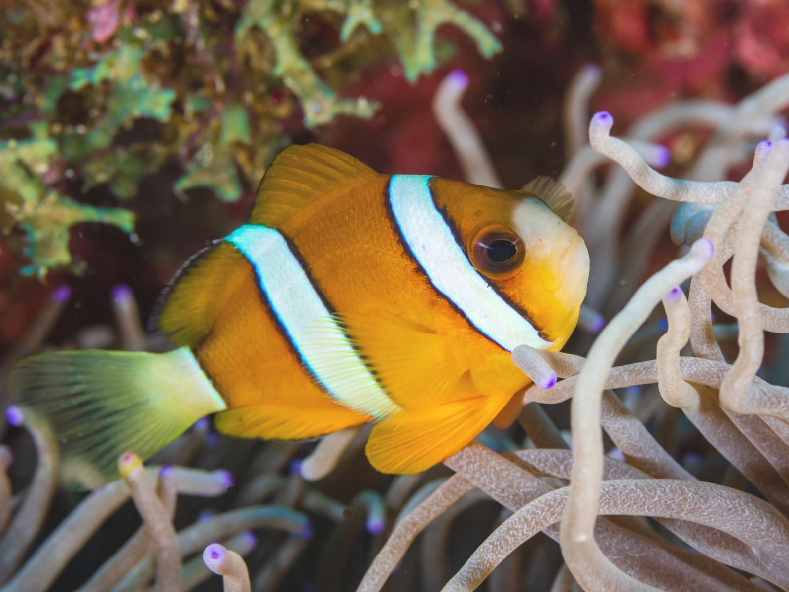 Clarks Anemonenfisch Aussehen