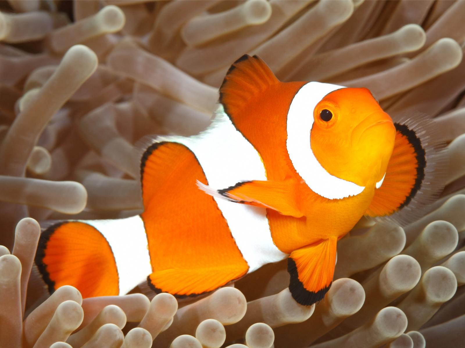 Falscher Clownfish Nemo