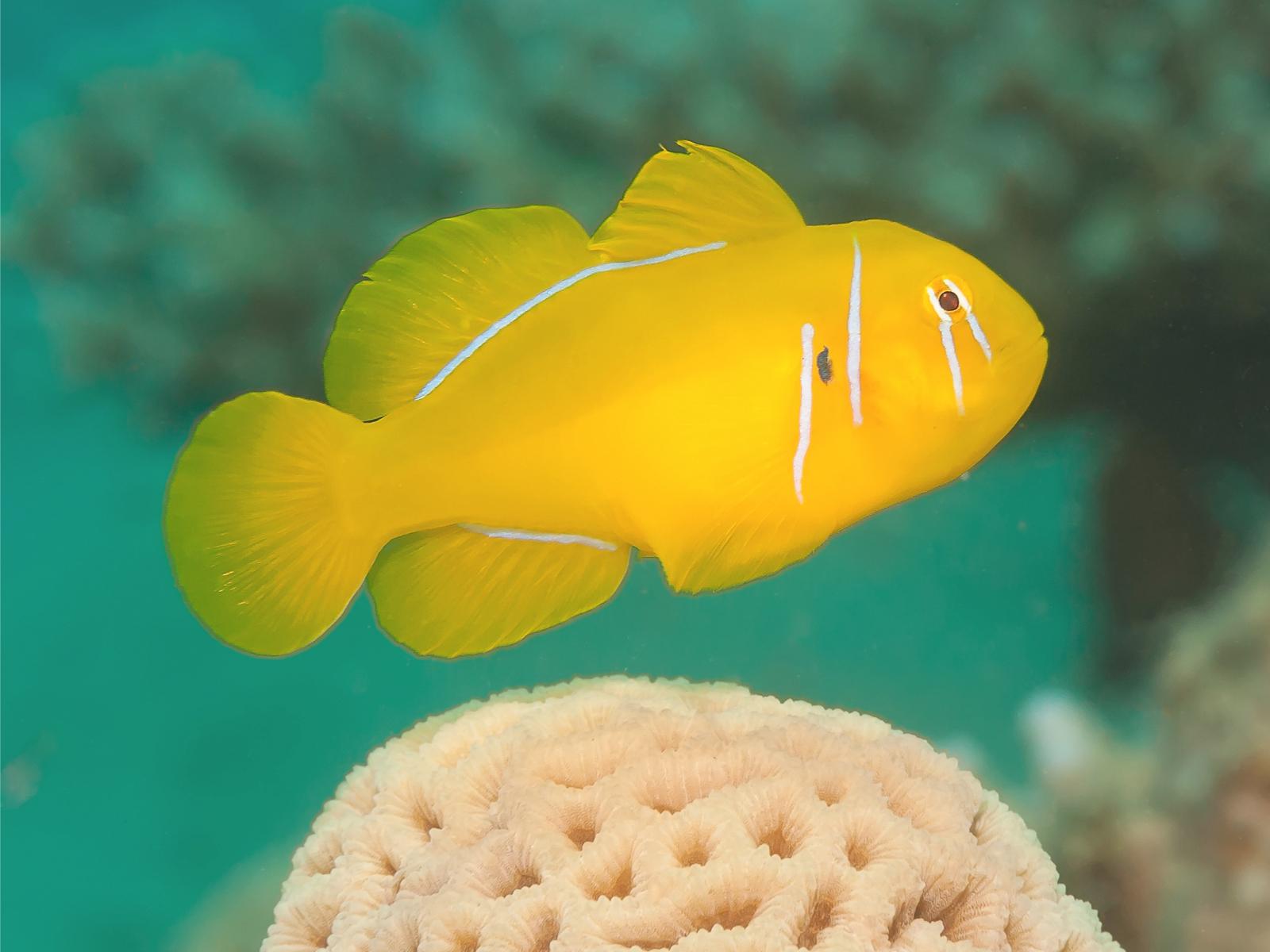 Gobiodon citrinus Zitronengrundel