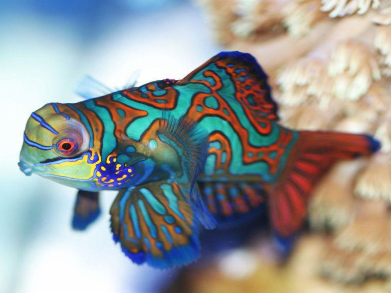 Mandarinfisch snyhiropus splendidus