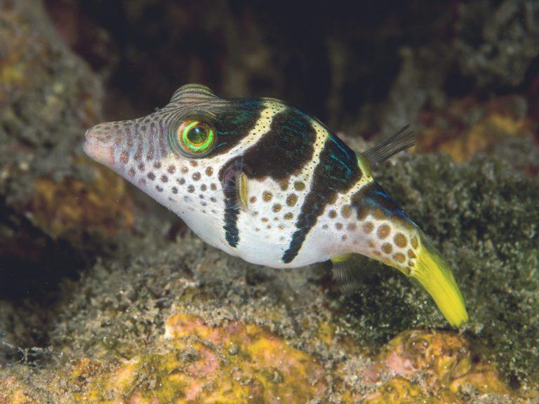 canthigaster valentini kugelfisch