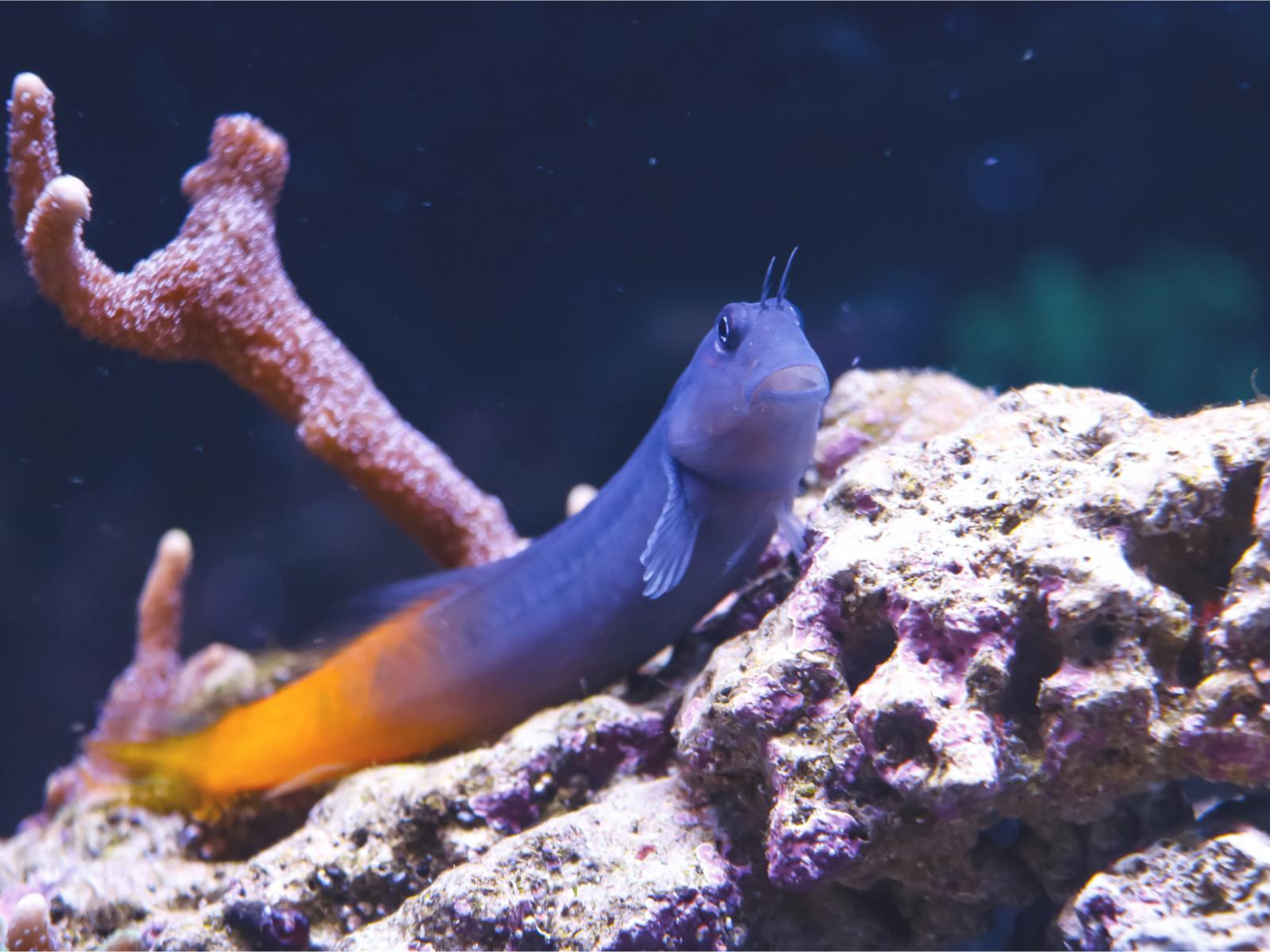 Zweifarbiger Schleimfisch ecsenius bicolor